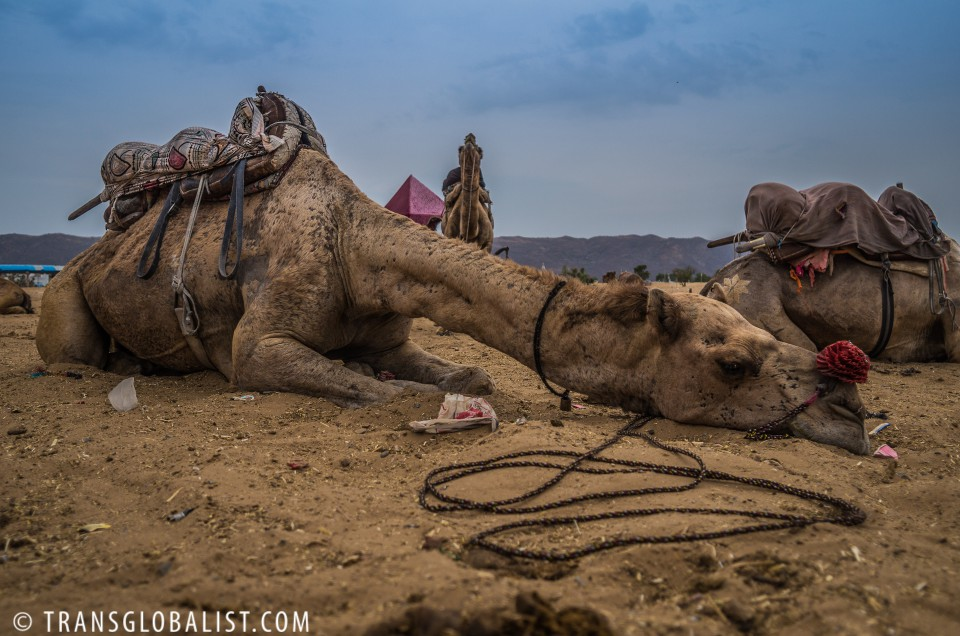 Bob the Easter Camel